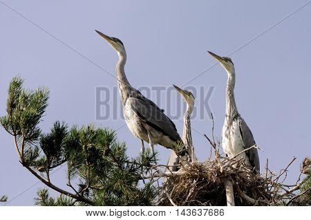 Three Grey Heron (Ardea cinerea) juvenile birds in the nest. National park Plesheevo Lake Yaroslavl region Russia
