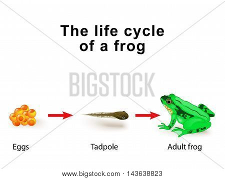 Amphibian Metamorphosis. Life Cycle Of A Frog