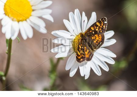 Batterfly On White Or Common Daisy Bellis Perennis Flower
