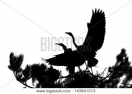 Two Grey Heron (Ardea cinerea) juvenile birds in the nest silhouette. National park Plesheevo Lake Yaroslavl region Russia