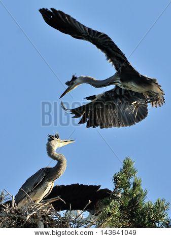 Grey Heron (Ardea cinerea) chick fly to the nest. National park Plesheevo Lake Yaroslavl region Russia