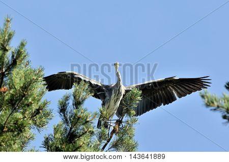 Grey Heron (Ardea cinerea) at pine tree. National park Plesheevo Lake Yaroslavl region Russia