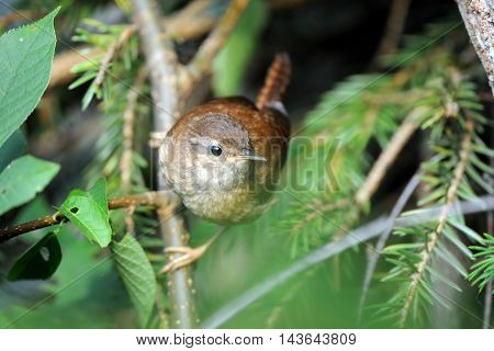 Perching Wren (Troglodytes troglodytes) at tree branch. Yaroslavl region Russia
