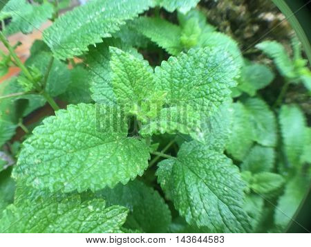 Fine grown lemon balm