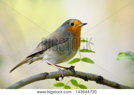 Perching European Robin (Erithacus rubecula) in spring. Moscow region Russia