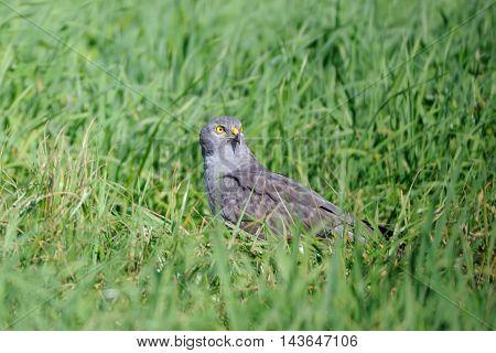 Male Montagus harrier (Circus pygargus) in the grass. Kaluga region Russia