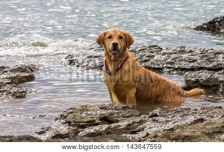 Golden Retriever Dog Enjoying On The Beach