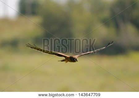 Flying juvenile Montagus harrier (Circus pygargus) over the meadow. Kaluga region Russia