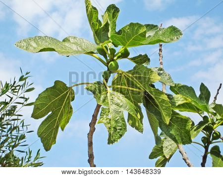 Fig tree and green figs against blue sky closeup