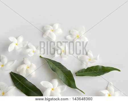 Beautiful white gardenia flower on white background