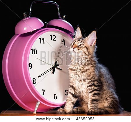 Portrait of domestic black tabby mackerel Maine Coon kitten - 3,5 months old. Cat with big pink alarm clock on black background.