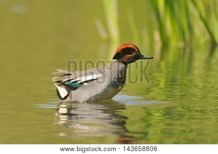 Swimming Common Teal (Anas crecca). Moscow region Russia
