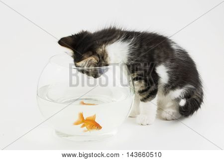Cat and fish on the white background