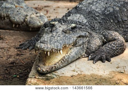 the fierce crocodile sleep and smile happily