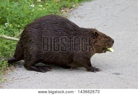 Isolated photo of the Canadian beaver walking