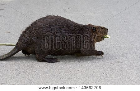 Beautiful picture with a North American beaver walking somewhere with a wooden stick
