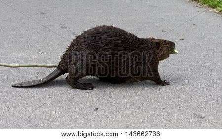 Beautiful photo of a North American beaver on the road