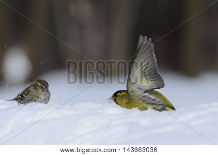 Flapping wings male Siskin (Carduelis spinus) in snow near female. Moscow region Russia