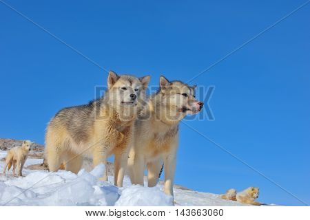 Greenland sled dogs relaxing on iced field