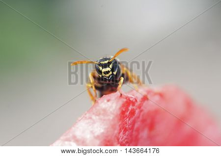 insect wasp flew into the pulp of juicy watermelon