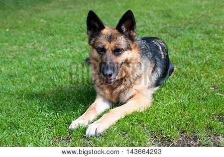 German shepherd dog lying on the green grass