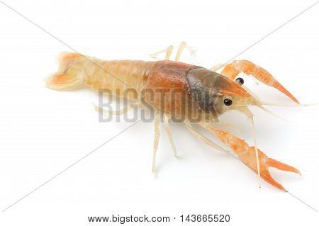 Blue crayfish - Fresh water Lobster on white background