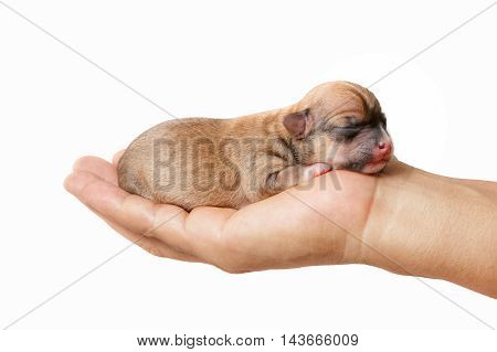newborn chihuahua puppy in the caring hands