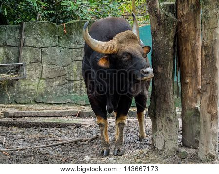 Close up portrait of Male Malayan Gaur