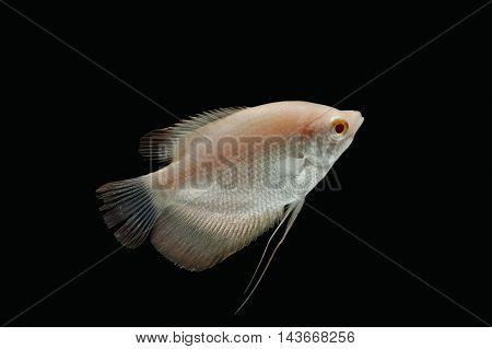 Giant gourami fish isolate on black background