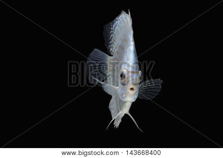 Pompadour (Discus) fish with copy space on black background