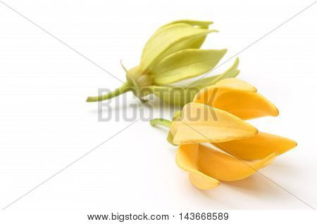 Ylang-Ylang flowerYellow fragrant flower on white background