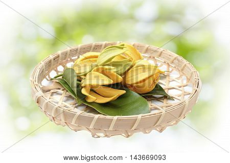 Ylang-Ylang flower,Yellow fragrant flower on nature background