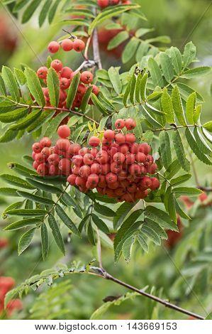 Red ripe mountain ash berries in fall