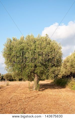 beautiful olive trees in Calabria in southern Italynature