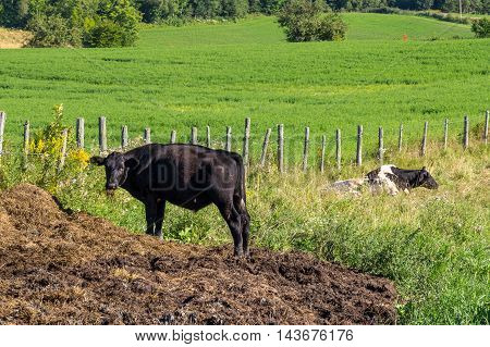 Holstein Cow ruminating in the pasture in summer