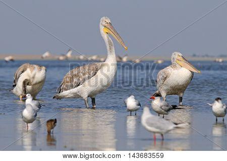 Dalmatian Pelicans (Pelecanus crispus) and flock of White Pelicans (Pelecanus onocrotalus) at Manych lake. Kalmykia Russia