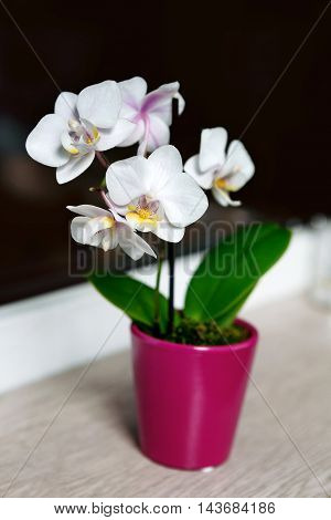 White orchid flower on windowsill in pink pot