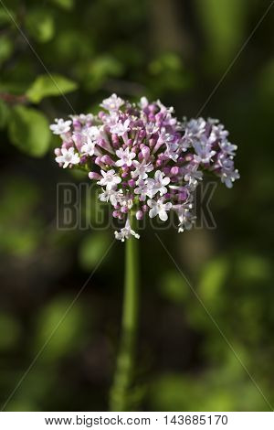 The wild flower, natural life, Valeriana officinalis
