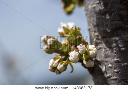 In spring, natural Cherry tree flowering buds.