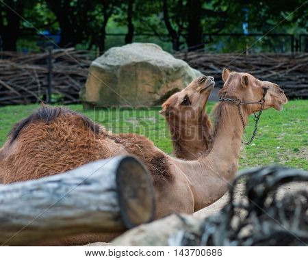 Beautiful animal - single hump camel. Mother camel with baby.