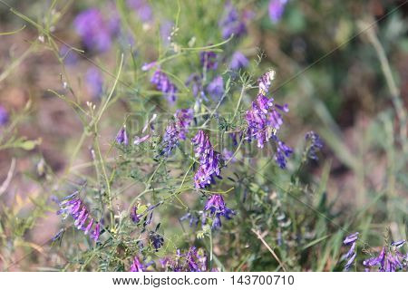 Isolated alfalfa flower.  Medicago sativa