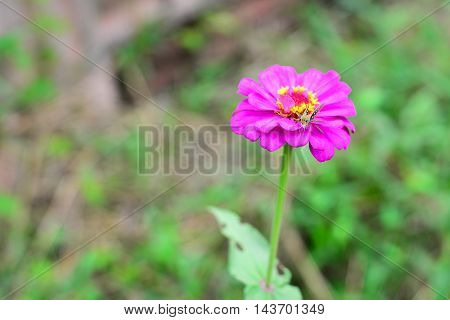 The Insect on the Pink Zinnia Thailand