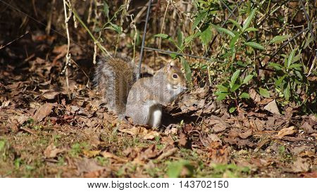 A brown squirrel looking on the ground.