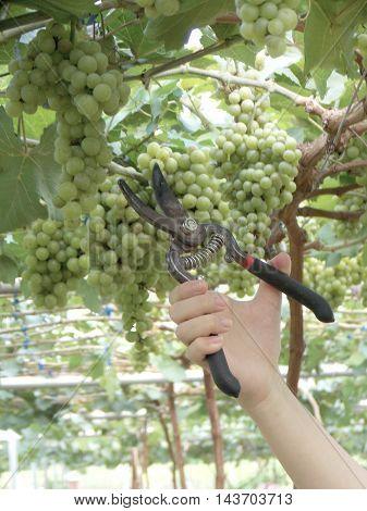 Beautiful fresh grape fruit  in the garden