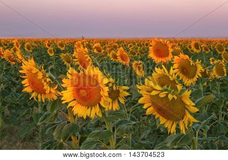 The morning sunlight hits the yellow and gold sunflowers on a summer day