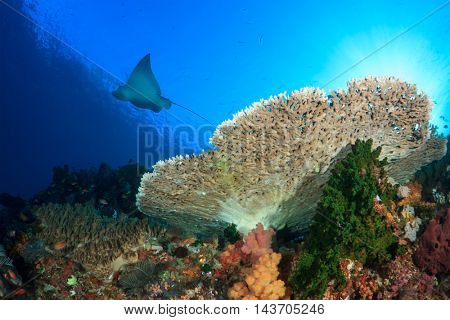 Spotted Agle Ray swims over coral reef in Komodo National Park, Indonesia