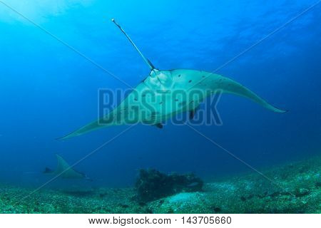 Reef Mantas, Komodo National Park, Indonesia