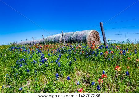 Blue Skies and Dry Round Hay Bales of Texas Grasses used to Feed Cattle on a Texas Ranch Next to Various Fresh Texas Wildflowers in Spring Including Indian Paintbrush and Texas Bluebonnets.