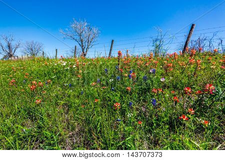 A Beautiful Field of Various WIldflowers but Mostly of Bright Orange Indian Paintbrush (or Prairie Fire) Wildflowers in the Texas Hill Country. Castilleja foliolosa.