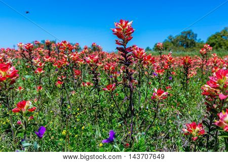 A Beautiful Closeup of a Huge Number Bright Orange Indian Paintbrush (or Prairie Fire) Wildflowers in the Texas Hill Country, with Blue Skies. Castilleja foliolosa.